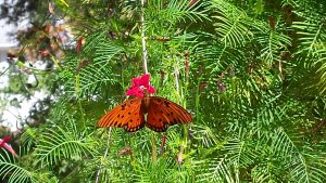 gulf-fritillary-on-hummingbird-vine-10-19-16