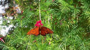 gulf-fritillary-on-hummingbird-vine-10-19-16